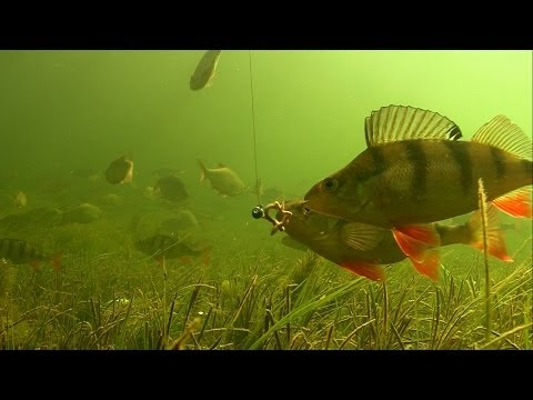 Perch & Worm: Rare Underwater Footage Of Catching Fish In Clear Water.