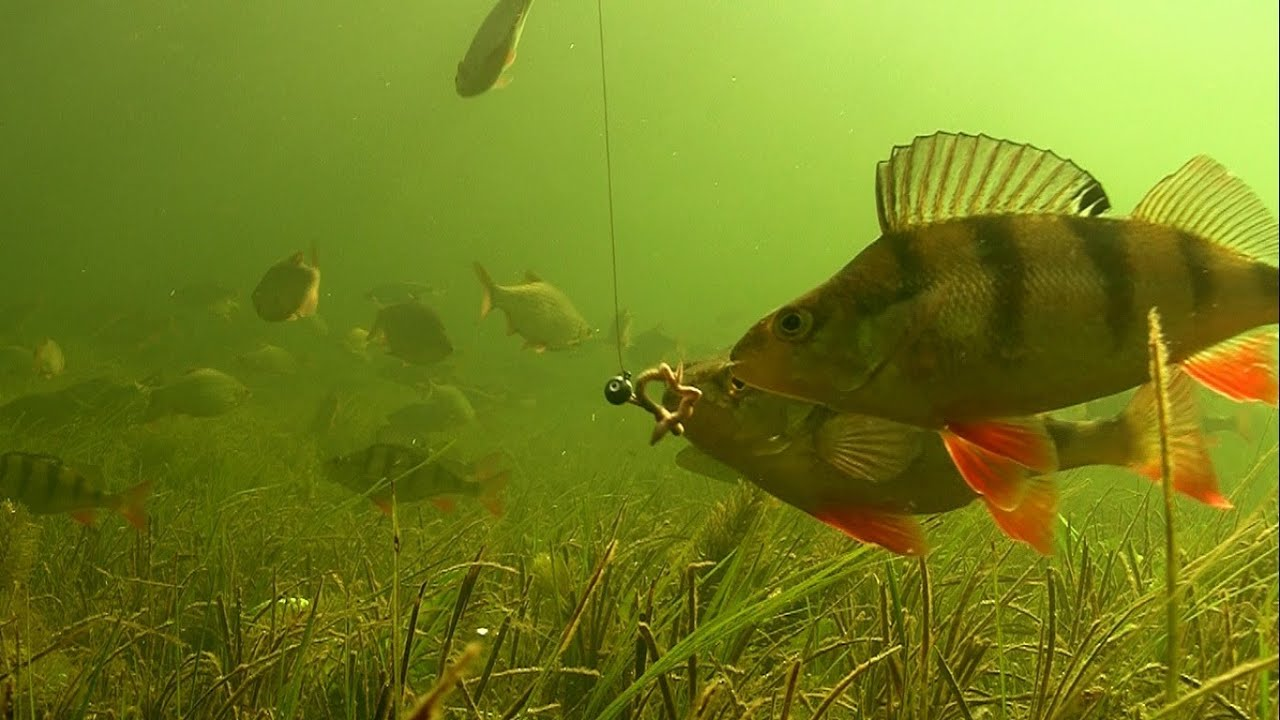 Big perch fishing with worms soft bait underwater for Yellow perch fishing rigs