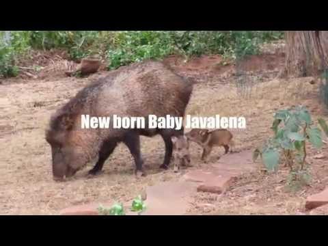 Cute new born baby Javalena pigs