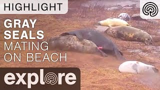 Gray Seals Mating! - Live Cam Highlight