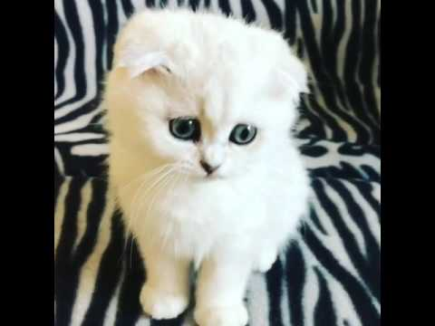 Silent Meow Scottish Fold