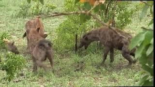 Animal fight __ शेर ओर हाइना की लड़ाई ।। जंगली जानवर l Crazy Animal