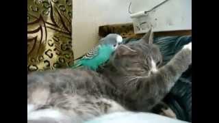Приколы! Попугай не дает спать коту Смешная картинка)
