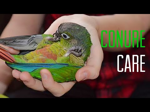 HOW TO CARE FOR A GREEN CHEEK CONURE