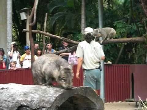 Koala & Wombat Presentation - Cairns Zoo