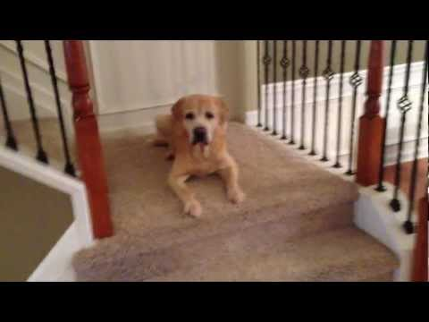 Playing Hide & Seek with my Labrador Retriever - Searches for Treats