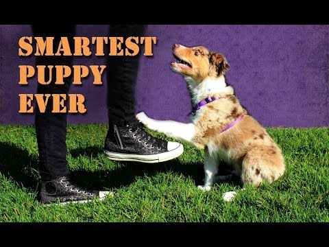 Smartest 10 Week Old Puppy Performs Amazing Dog Tricks