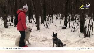 Дрессировка собак, теория, упражнения и обстановка, как правильно усложнять работу собаки