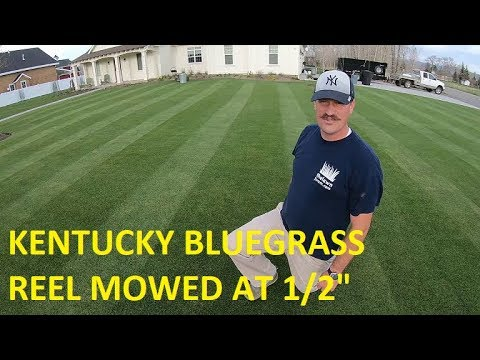 1/2 Inch KENTUCKY BLUEGRASS. Reel Mower