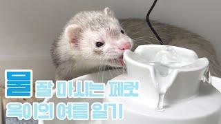 여름 옥이 근황, 물 잘 마시는 페럿의 내돈내산 고양이…