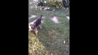 Indy The Border Terrier Terrorizing His Varmint