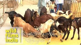 Goat farming in India