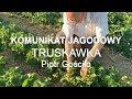 Komunikat jagodowy #11 Truskawka Marmolada - Piotr Gościło 04.06.2019