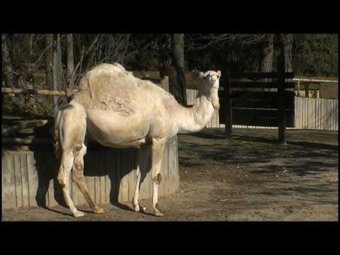 Dromedary Camel (Camelus dromedarius)