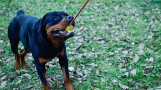 Rottweiler Plays With Activity Dog Toy K9 Ball On The Strong Rope