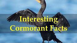 Interesting Cormorant Facts