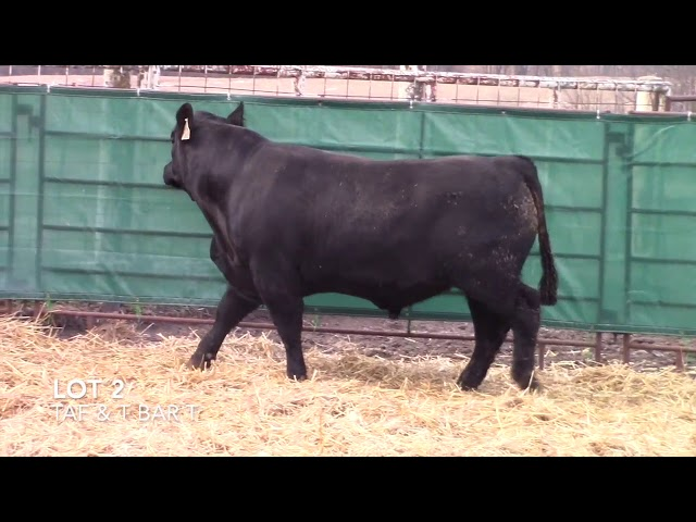 T Bar T and Taliaferro Angus Lot 2