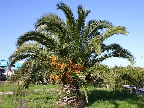 canary island date palm tree phoenix canariensis youtube. Black Bedroom Furniture Sets. Home Design Ideas