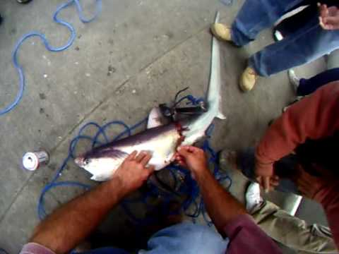 Thresher shark fishing on the pacifica pier california for Pacifica pier fishing report