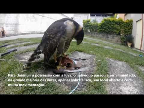 Training and Manning Falcon/Hawk-clock (Micrastur semitorquatus) in falconry