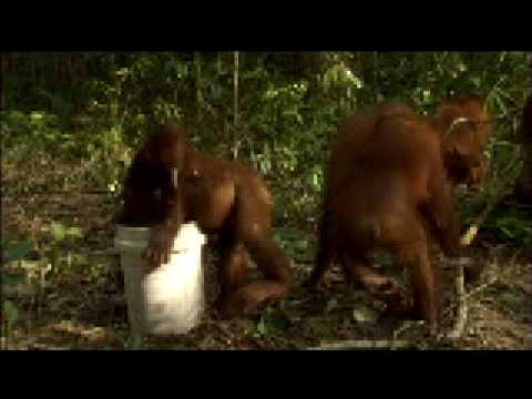 Orangutan Island - The Milk Bucket