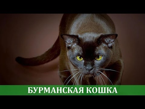 Бурманская кошка: рассказ заводчика