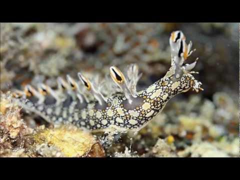 Dive Kapas : Bornella Anguilla