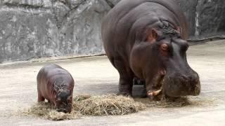 撮影:2012.5.31 東武動物公園にて 赤ちゃんはまだ母乳のみなので遊んで...