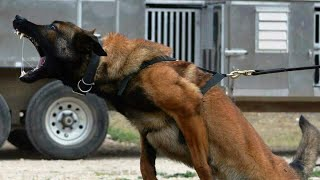 Malinois is not suitable for everyone Belgian Shepherd breed features Thought by ear