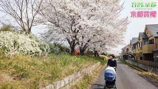 【京都賞櫻】2019 不用大老遠~住家附近的櫻花小徑賞花去!河川敷桜並木