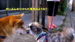 愛犬の散歩中に、よく遊んでくれる ラサ・アプソ 犬の アンドリュー君が...