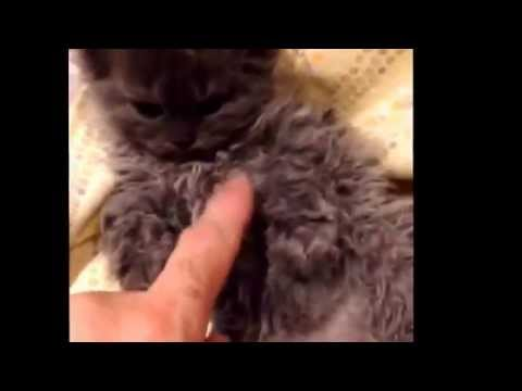 Chatterie Sir Rex Gandalf Selkirk Rex Chat mouton