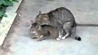 как кошки сношаются смотреть  до коца