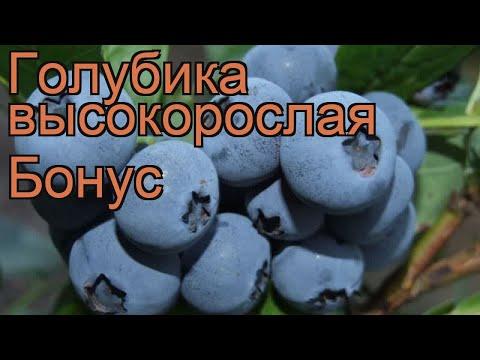 Голубика высокорослая Бонус (vaccinium corymbosum bonus) 🌿 обзор: как сажать, саженцы голубики Бонус