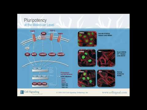 Pluripotency at the Molecular Level from Cell Signaling Technology, Inc.