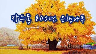 장수동 은행나무 800년 은행나무 장수 은행나무 만의골…