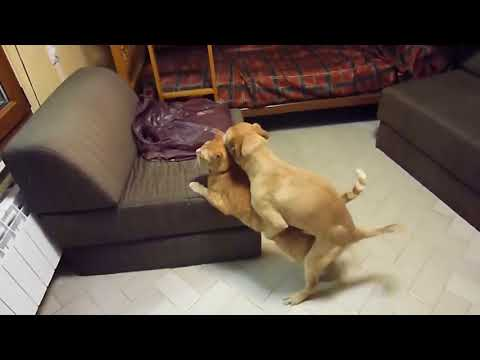 Dog and cat mating | Little funny dog mating poor cat | Animal mating