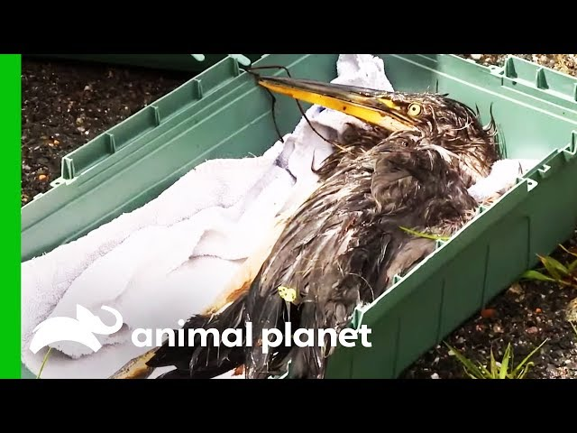 Badly Injured Heron Needs Urgent Medical Attention | North Woods Law