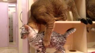 Каракет и обычная кошка - ровесницы 4,5 мес