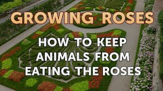 How to Keep Animals From Eating the Roses