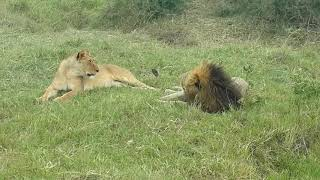 Lion and Lioness Mating 1