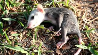 Baby Possum Playing dead