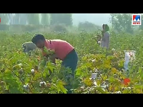Cotton farmer crisis important discussion at Maharashtra and Gujarat prior to elections