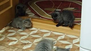 Сибирская кошка. котятам 1 месяц 7 дней.