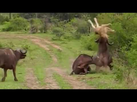 Animals attack # discovery || in africa.