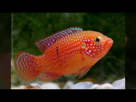 Keeping African Cichlids: Jewel Cichlid