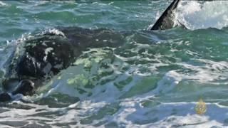 هذا الصباح-الحيتان القاتلة وأسود البحر معركة بشواطئ الأرجنتين