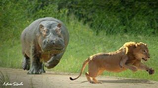 Perkelahian Kuda Nil vs Singa