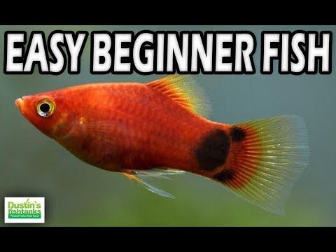 Easy beginner fish platy fish species sunday youtube for Dustins fish tanks