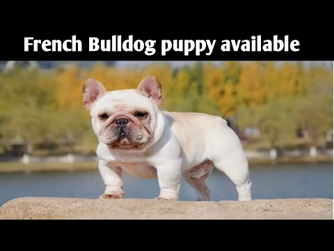 (Cheapest Dog Market) French Bulldog Puppy For Sale In Delhi And India,,9711696640,,